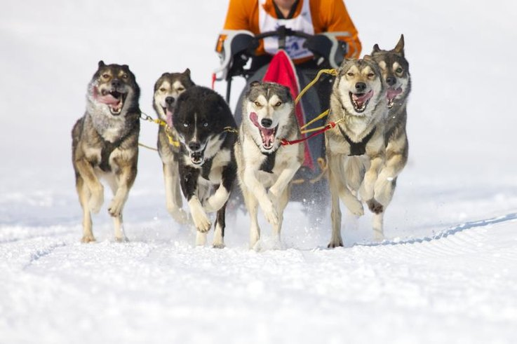 A pack of Siberian Huskies pulling a sled in a race.