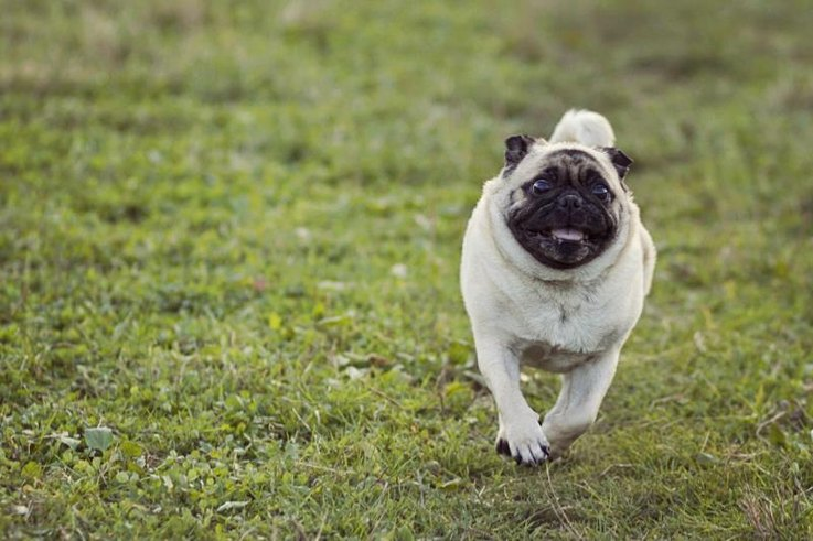 A pug running in the yard.