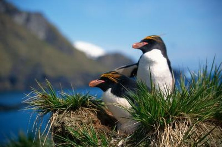 Macaroni penguins lay their eggs during the summer months and the parents take turns sitting on the eggs.