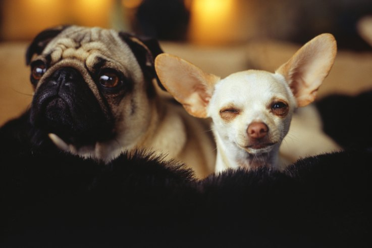 Good Floppy Ears Brown Adorable Dog - 1472247093631pug-chihuahua  HD_662640  .jpg