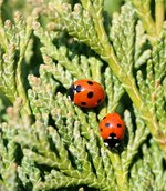 How to Care for Ladybugs Indoors