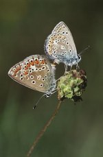 How Do Butterflies Reproduce?
