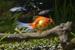 Types of Fish for a 10-Gallon Tank