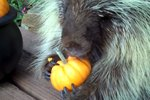Here's What A Chatty Porcupine Eating A Pumpkin Sounds Like