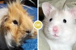 Poll: Guinea Pigs or Hamsters?