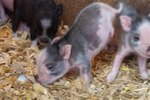 This 2-Legged Piggy Can 'Handstand' Walk Like Nobody's Business